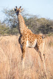 Young giraffe and 4 oxpeckers Royalty Free Stock Photography