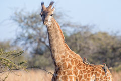 Young giraffe and oxpeckers Royalty Free Stock Photography