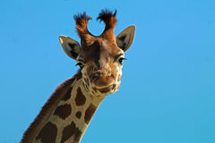 Young giraffe. Portrait of a young giraffe Stock Photography