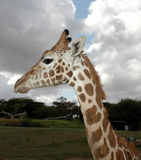 Young Giraffe Profile. Side view of young giraffe showing their profile stock photos