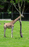 Young giraffe resting in the zoo Stock Image