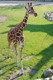 Young Giraffe, Rotterdam Zoo Stock Images