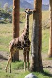 A young Giraffe rubbing a palm tree Royalty Free Stock Images