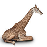 The young giraffe Stock Image