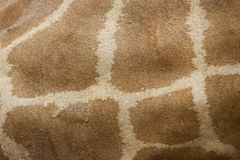 Young giraffe skin Royalty Free Stock Image