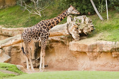 Young giraffe standing Stock Photography