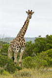 Giraffe amoungst the trees Royalty Free Stock Images