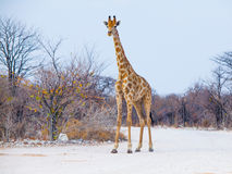 Young giraffe standing on the dusty road Stock Photos