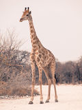 Young giraffe standing on the dusty road Royalty Free Stock Photography