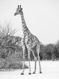 Young giraffe standing on the dusty road Stock Photography