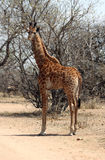 Young Giraffe standing in Sand Road Stock Photo