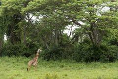 Young giraffe standing, Serengeti, Tanzania Stock Photo