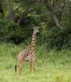 Young giraffe standing, Serengeti, Tanzania Stock Image