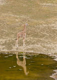 Young giraffe standing on the shore of Lake Stock Photo