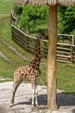 Young giraffe standing by a tree. A young giraffe standing by a tree in the shade in the middle of a fence Stock Photo