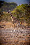 Young giraffe stands tall in morning light Stock Photo