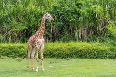 Young Giraffe staring out yonder royalty free stock images