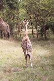 Young giraffe walking away Royalty Free Stock Images