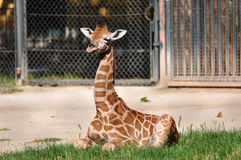 Young Giraffe Stock Photos
