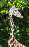 Young giraffe at the zoo Stock Photography