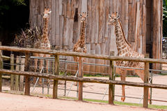 Young Giraffes Stock Image