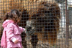 Young girl with Bactrian camel (Camelus bactrianus) Royalty Free Stock Photography