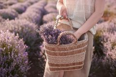 Young girl in a beige straw hat in the lavender fields stock photos
