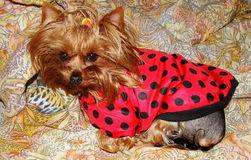 Young girl yorkshire terrier in red black speckles in the blanket ( Ladybird ) and is resting on yellow orange patterned Stock Photos