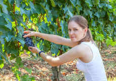 Young girl collects the grape harvest. Vineyards and agriculture. Young woman collects the grape harvest. Vineyards and agriculture stock image