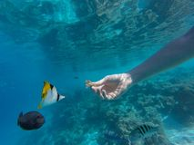 Young girl diving in a blue clean water. With coral royalty free stock images