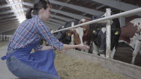 Young girl farmer making a tour of the barn on the farm feeding cows. Calves feeding process on modern farm. Cow on. Young girl farmer making a tour of the barn stock video footage