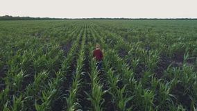 Farmer monitors the corn crop. Aerial survey. Corn field top view. 4K slow motion video. A young girl farmer monitors the corn crop. Aerial photography from a stock video footage