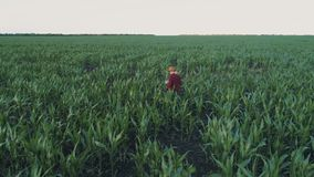 Farmer monitors the corn crop. Aerial survey. Corn field top view. 4K slow motion video. A young girl farmer monitors the corn crop. Aerial photography from a stock video