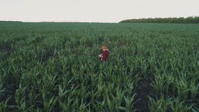 Farmer monitors the corn crop. Aerial survey. Corn field top view. 4K slow motion video. A young girl farmer monitors the corn crop. Aerial photography from a stock footage
