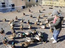 Young girl feeding ducks Stock Images