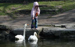 Young girl feeding geese. A view of a young girl feeding two white geese on a chilly spring day Stock Image