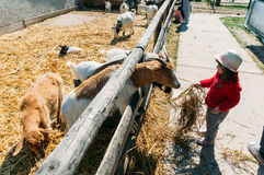 Young girl feeding goats Stock Photos