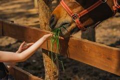 Young girl feeding horse in a farm Royalty Free Stock Photos