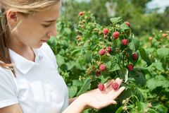 Young girl gardener in white T-shirt gather a harvest raspberry. On summer day royalty free stock image