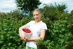 Young girl gardener in white T-shirt gather a harvest raspberry. On summer day royalty free stock images
