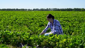 Young girl picking strawberries at the plantation stock video