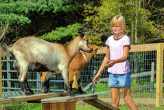 Young Girl with Goats Stock Image