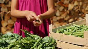 Young girl hands harvesting pea pods stock footage