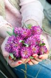 Young girl hands holding meadow clover/trefoil bunch. royalty free stock image