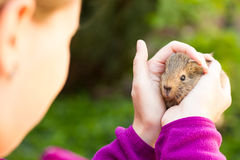 Young girl holding young guinea pig in both hands Stock Photo