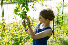 Young Girl Inspecting Leaves on Green Tree Stock Photography