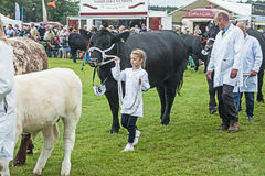 Young girl leading cow at Grantown on Spay. Young girl amazingly leads a large black cow around the judging ring at Grantown on Spey Agricultural Show on 10th stock photo