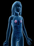 Young girl - mammary glands. Anatomy of a young girl - mammary glands Royalty Free Stock Images