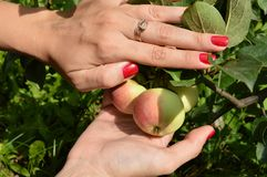A Young Girl With Nice Manicure Picks Apples From Tree In Orchard Royalty Free Stock