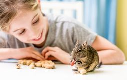Young girl observe the degu squirrel. Eats nuts on white table Royalty Free Stock Images